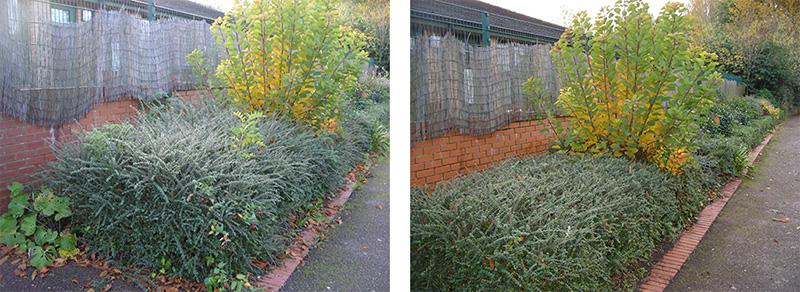 Before and after shots showing the trimmed cotoneaster and the tidied up brick edging. In a previous work session, the cotinus was coppiced to give it greater impact.