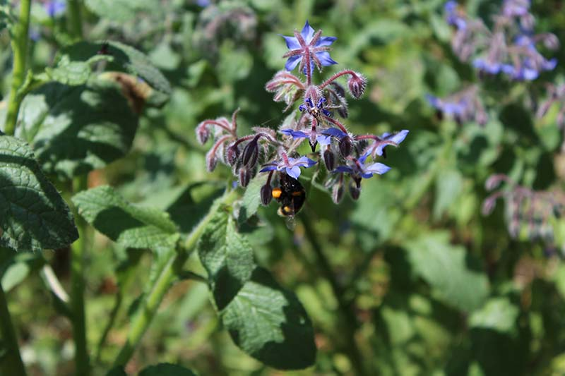 borage – seen here with a visiting bee