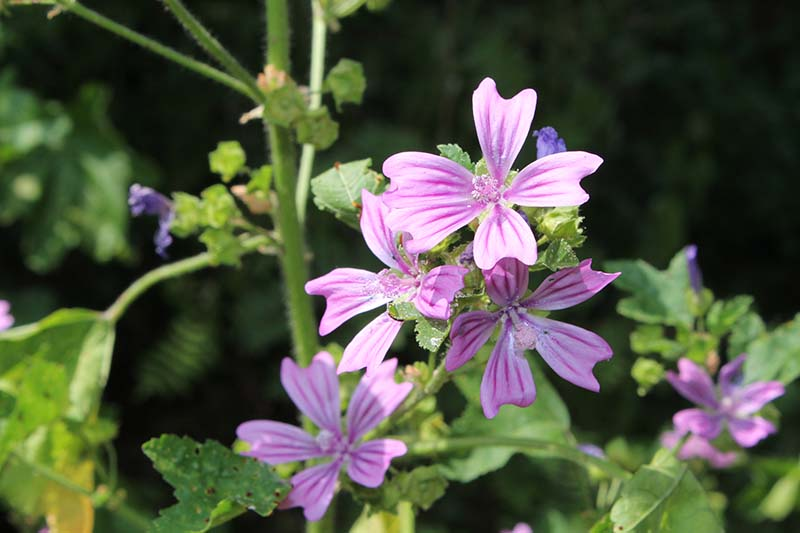 Mallow, with its pretty pink striped flowers.