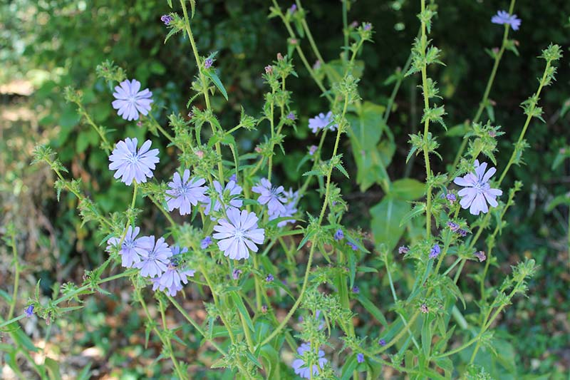 Newly appeared this year, chicory - a member of the daisy family.