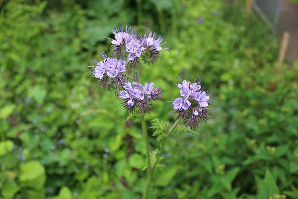 To the phacelia of May to July