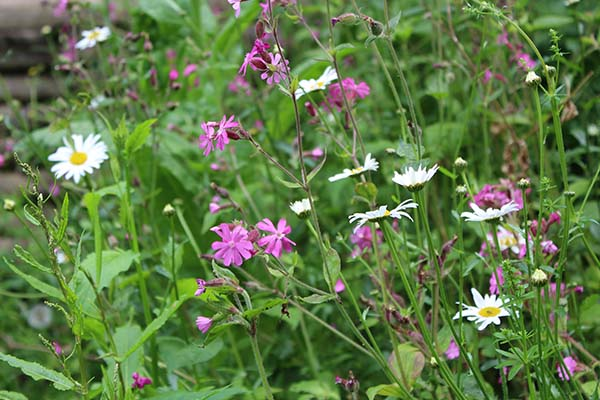to the red campion of March through to June and the Oxeye daisy of May to September