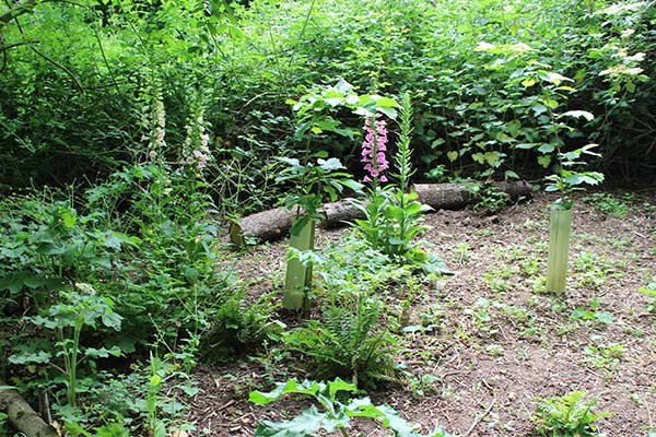 The fernery bounded by its circle of coppiced hazels and foxgloves.